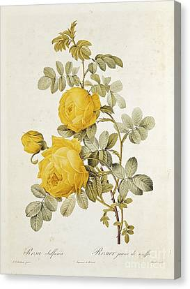 Leaves Canvas Print - Rosa Sulfurea by Pierre Redoute