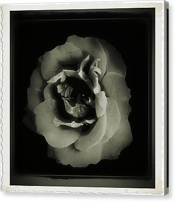 Rose 12 Canvas Print by John Krakora