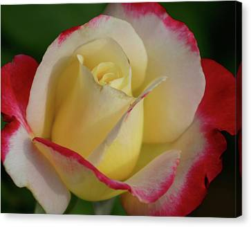 Rose 3913 Canvas Print