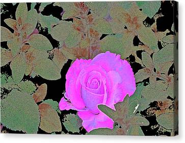 Rose 97 Canvas Print by Pamela Cooper
