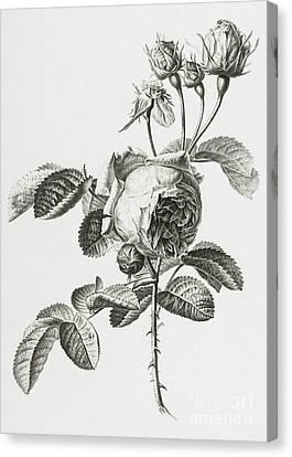 Rose A Cent Feuilles Canvas Print by Gerard van Spaendonck