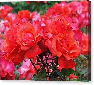Rose Abundance Canvas Print by Rona Black