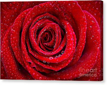 Rose And Drops Canvas Print