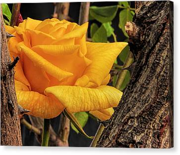 Rose And Thorns Canvas Print by Charles Ables