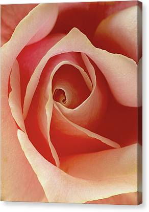 Canvas Print featuring the photograph Rose by Art Shimamura