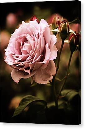 Rose Blooms At Dusk Canvas Print by Jessica Jenney