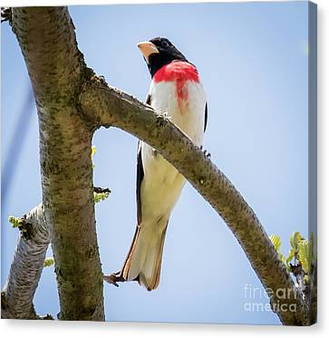 Canvas Print featuring the photograph Rose-breasted Grosbeak Looking At You by Ricky L Jones