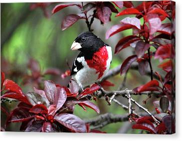 Rose-breasted Grosbeak Canvas Print by Trina Ansel