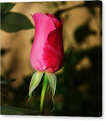 Rose Bud Canvas Print by Anthony Jones