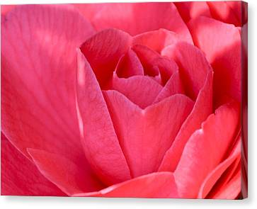 Rose Camellia Canvas Print by Lori Kesten