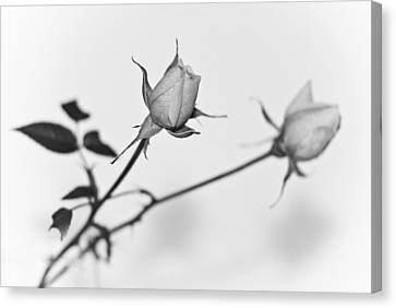 Rose Duo Canvas Print by Ryan Kelly