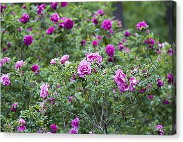 Rose Garden Canvas Print by Frank Tschakert