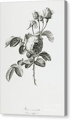 Rose Canvas Print by Gerard van Spaendonck