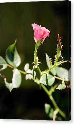 Rose Canvas Print by Gwen Vann-Horn