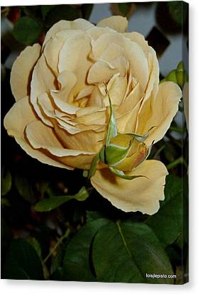 Rose In Ecru Canvas Print by Lois Lepisto