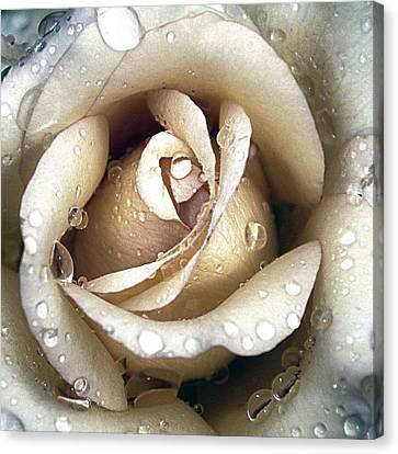 Canvas Print featuring the photograph Rose In Gold With Water Drops by Julie Palencia