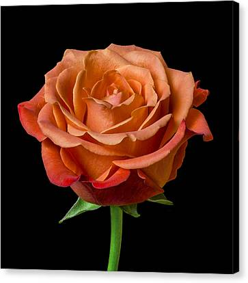 Tangerines Canvas Print - Rose by Jim Hughes