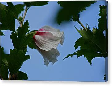 Rose Of Sharon After The Rain Canvas Print by Martin Morehead