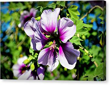 Rose Of Sharon - Blue Hibiscus Canvas Print by Glenn McCarthy Art and Photography