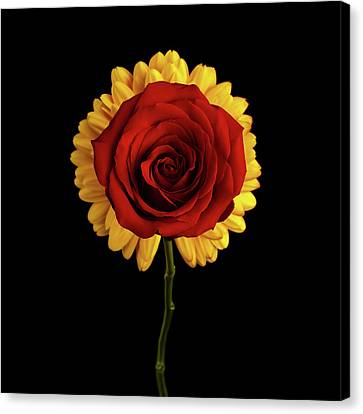 Rose On Yellow Flower Black Background Canvas Print by Sergey Taran