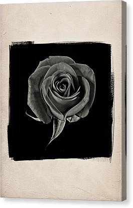 Rose One A Canvas Print by Patrick Chuprina