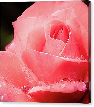 Canvas Print featuring the photograph Rose Petals And Drops Macro by Julie Palencia