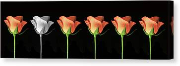 Rose Poster. Canvas Print by Terence Davis