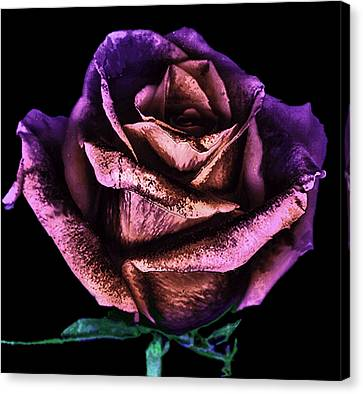 Rose Scan Day 3 No Lid Violet Canvas Print by Paul Shefferly
