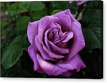 Rose Sissi  Canvas Print by Daniel Arrhakis