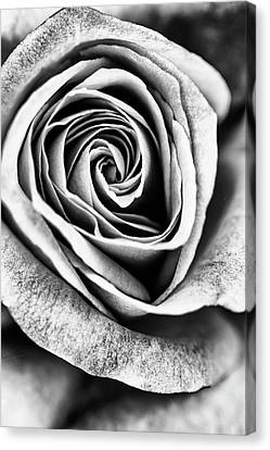 The Nature Center Canvas Print - Rose Swirl In Monochrome by Vishwanath Bhat