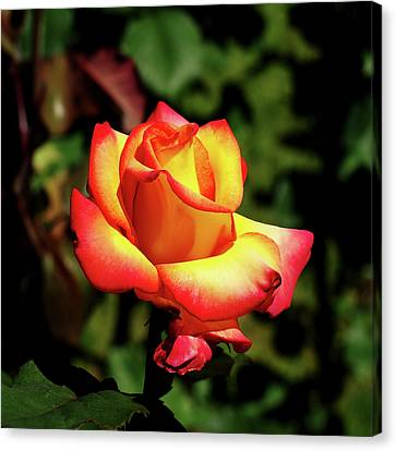 Canvas Print featuring the photograph Rose To Remember by Dale Stillman