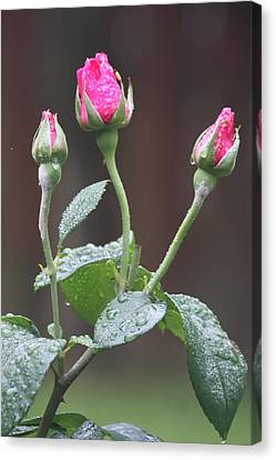 Canvas Print featuring the photograph Rose Trio by Vadim Levin