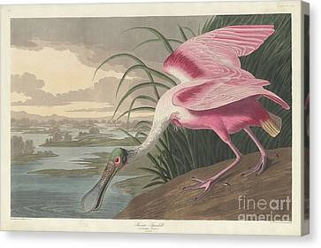 Roseate Spoonbill, 1836  Canvas Print by John James Audubon
