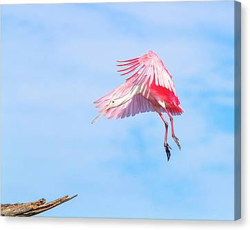 Roseate Spoonbill Final Approach Canvas Print by Mark Andrew Thomas
