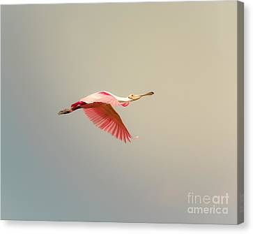 Roseate Spoonbill Flying Canvas Print by Robert Frederick