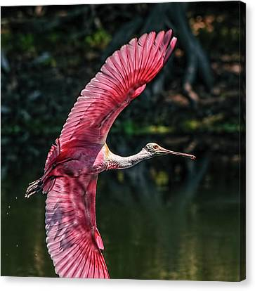 Roseate Spoonbill Canvas Print by Steven Sparks