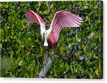 Roseate Spoonbill Wings Spread Canvas Print by Alan Lenk