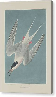 Seagull Canvas Print - Roseate Tern by Dreyer Wildlife Print Collections