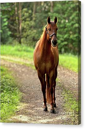Rosey On The Road Canvas Print