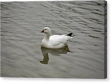 Canvas Print featuring the photograph Ross's Goose by Sandy Keeton