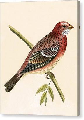 Rosy Bullfinch Canvas Print by English School