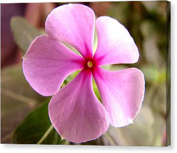 Rosy Periwinkle Canvas Print by Shariq Khan