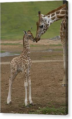 Rothschild Giraffe Giraffa Canvas Print by San Diego Zoo