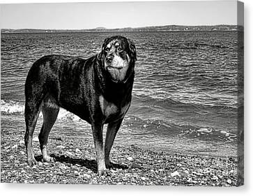 Rottweiler At The Shore Canvas Print by Olivier Le Queinec