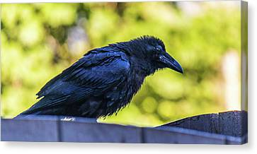 Canvas Print featuring the photograph Rough Crow  by Jonny D