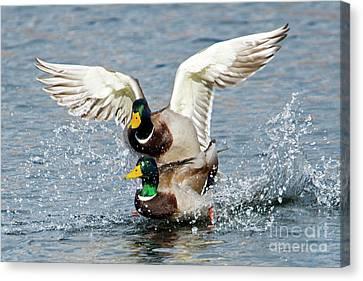 Mallard Duck Canvas Print - Rough Landing by Mike Dawson