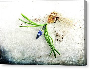 Rough Start Canvas Print by Randi Grace Nilsberg