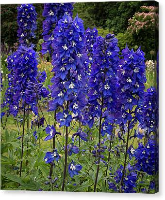 Canvas Print - Row Of Delphiniums by Jean Noren
