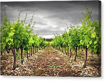 Row Of Vineyard Canvas Print by Ellen van Bodegom