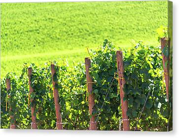 Rows Of Grapes Canvas Print
